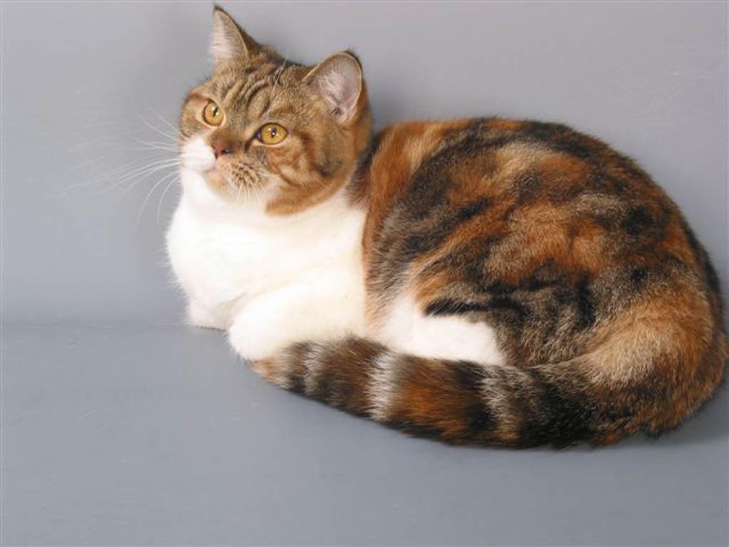 Цвет кота черепаховый