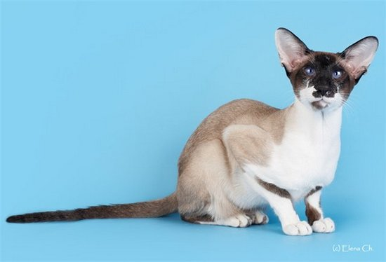 GrIntCh Skin Cat Rex-SYSn03